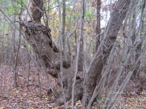 Gnarley Old Tree Dan Valley Dot Net
