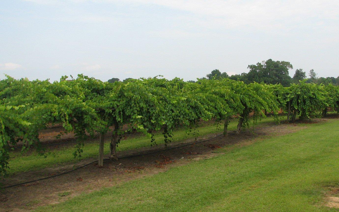 Hinnant Family Vineyards  Dan Valley Dot Com 1